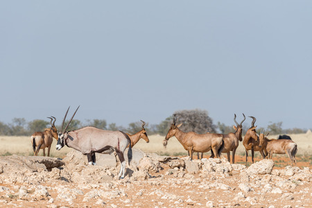 An Oryx, Oryx gazella, with visible wounds and red hartebeest, Alcelaphus buselaphus caama, at a waterhole in Northern Namibia