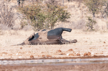 ETOSHA NATIONAL PARK, NAMIBIA - JUNE 27, 2017: A dead elephant at a waterhole in Northern Namibia. It was determined that it died of anthrax Editorial