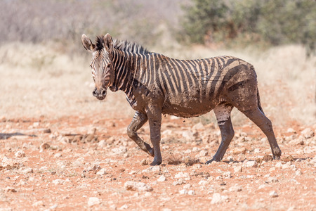 muddy: A muddy Hartmann Mountain Zebra, Equus zebra hartmannae, at the Rateldraf waterhole in North-Western Namibia Stock Photo