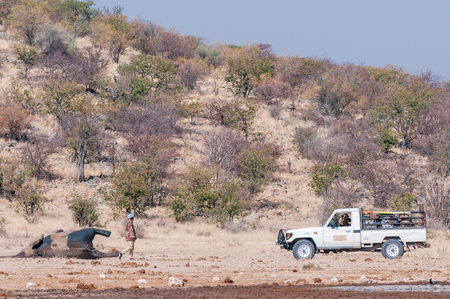 ETOSHA NATIONAL PARK, NAMIBIA - JUNE 27, 2017: Unidentified rangers towing a dead elephant at the Dolomite Waterhole in the western part of Etosha. It was determined that it died of anthrax Editorial