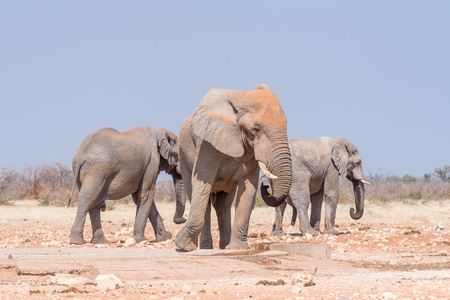 noon: Three african bull elephants, Loxodonta africana, at the Rateldraf waterhole in North-Western Namibia. One is urinating