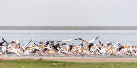 Great white pelicans taking off from the lagoon in Walvis Bay in Namibia