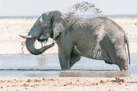 An African elephant, Loxodonta africana, taking a mud bath at a waterhole in Northern Namibia