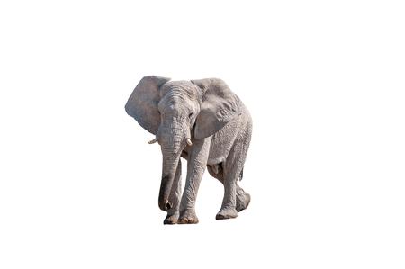 アフリカゾウ、ロキソドンタ・アフリカナ、北ナミビアで白で隔離
