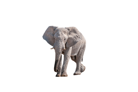 An African elephant, Loxodonta africana, isolated on white, in Northern Namibia