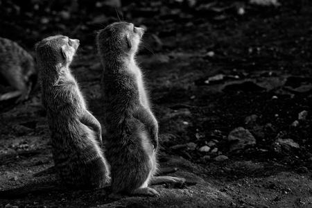 The meerkat or suricate, Suricata suricatta, is a small mammal belonging to the mongoose family. Monochrome Stock Photo