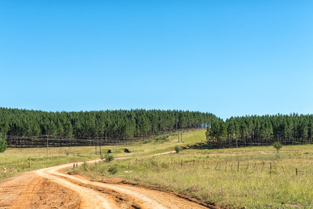 Pine tree plantations next to road R396 between Maclear and the Pot River Pass in the Eastern Cape Province Stock Photo