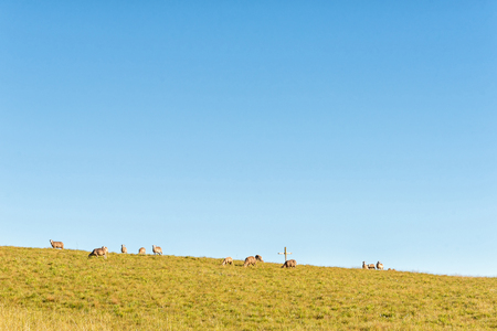 Sheep and a cross on the slope of a hill at Tortoni near Maclear in the Eastern Cape Province