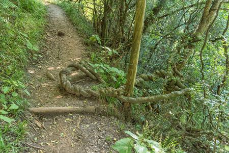 A strangler plant on the Tugela Gorge hiking trail in the  Kwazulu-Natal Drakensberg Stock Photo