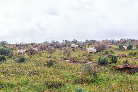 Goats grazing between wild flowers at Wupperthal in the Cederberg Mountains of the Western Cape Province of South Africa