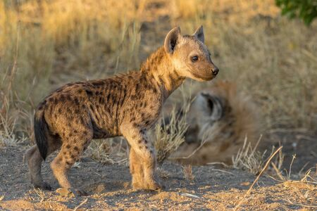 A spotted hyena cub at sunset.