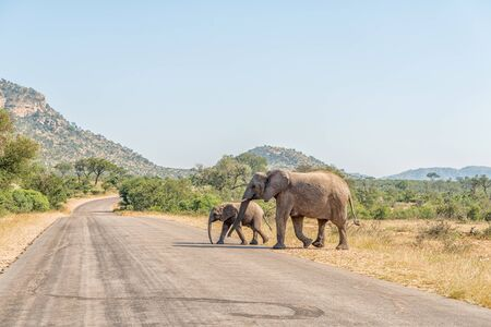 An african elephant cow and calf crossing a road in the Mpumalanga Province of South Africa Banco de Imagens