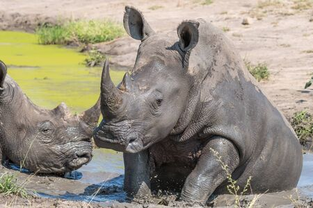 A southern white rhino, Ceratotherium simum simum, taking a mudbath