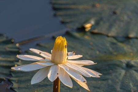 A water lily in Lake Panic. Several insects are visible