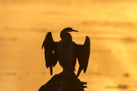 Silhouette of an african darter, Anhinga rufa, against the glare of sunrise in a dam Reklamní fotografie