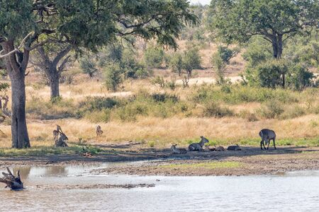 Male and female waterbuck, Kobus ellipsiprymnus, with calves lying in shade next to a dam. Impalas are visible. Reklamní fotografie