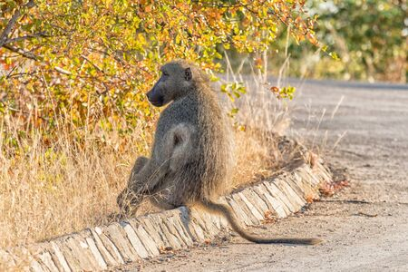 A Chacma baboon, Papio ursinus, sitting on a street curb Stock Photo