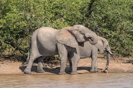 Two African Elephants drinking water at Sable Dam