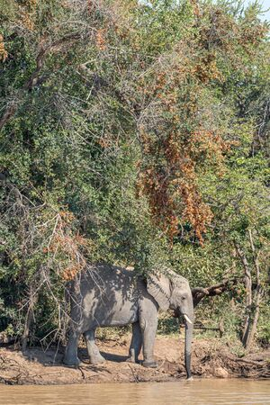 An African Elephant drinking water under a large tree at Sable Dam