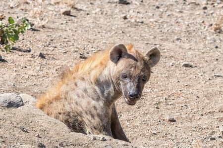 A female spotted hyaena, Crocuta crocuta, at her den in a pipe below a road