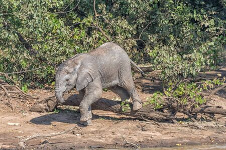 A small male African Elephant calf climbing over a tree stump holding a stick with its trunk