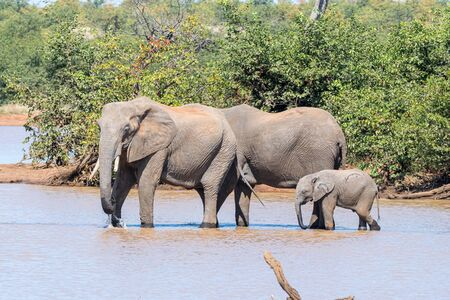 Two female African Elephants, Loxodonta africana, and a calf drinking at the Sable Dam