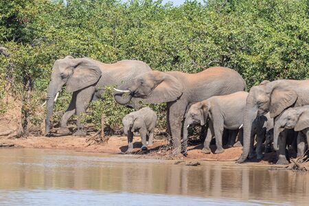 A herd of African Elephants, Loxodonta africana, drinking at the Sable Dam