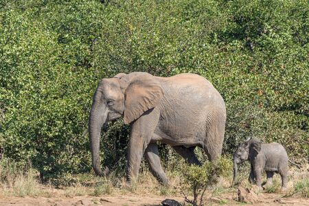 An African Elephant cow and calf walking next to thick vegetation at Sable Dam