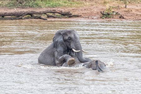 Two african elephants, Loxodonta africana, playing in the Pioneer Dam at Mopani Reklamní fotografie