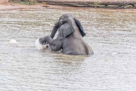 An african elephant, Loxodonta africana, pushing another elephant underneath the water in the Pioneer Dam at Mopani Reklamní fotografie