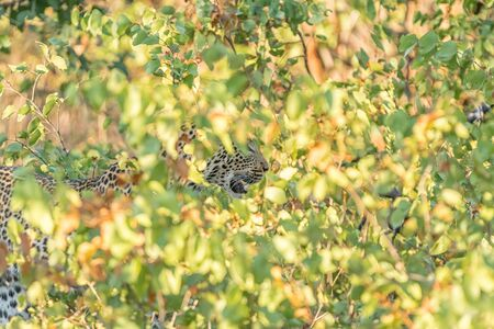 A leopard, Panthera pardus, hiding behind mopani bushes. Whiskers and teeth are visible