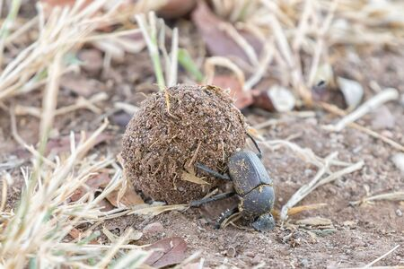 An upside down dung beetle rolling a ball of dung