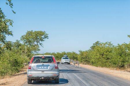 KRUGER NATIONAL PARK, SOUTH AFRICA - MAY 13, 2019: A Burchells Zebra foal crossing road H1-6 near Shingwedzi while vehicles are waiting Editorial