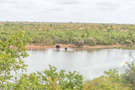 Two african elephants, Loxodonta africana, in the Pioneer Dam at Mopani