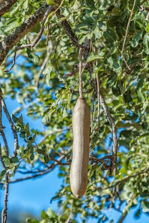 The fruit of a sausage tree, Kigelia africana Reklamní fotografie
