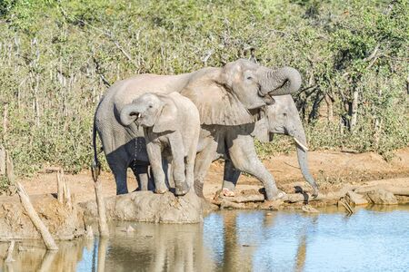 Three african elephants, Loxodonta africana, drinking water at a dam Reklamní fotografie