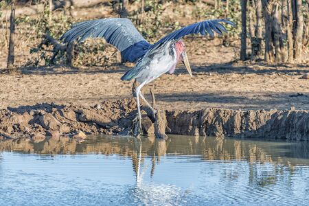 A male Marabou stork, Leptoptilos crumeniferus, climbing out of a dam with stretched wings Reklamní fotografie
