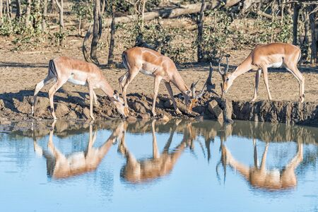 Two impala rams and an ewe, Aepyceros melampus, drinking from a dam. Reflections are visible