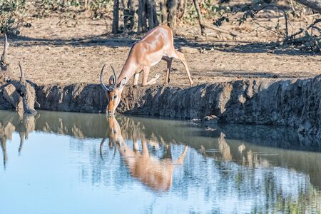 An impala ram, Aepyceros melampus, kneeling to drink from a dam Banco de Imagens