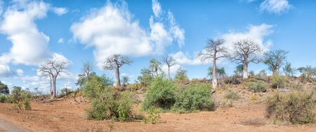 Panoramic view of a hill with several baobab trees, Adansonia digidata