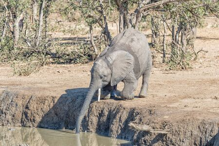 An african elephant calf, Loxodonta africana, kneeling to drink in a waterhole Banco de Imagens