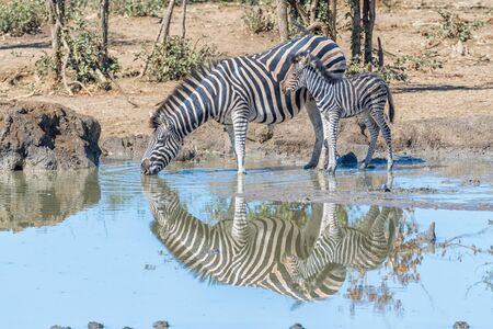 A Burchells zebra mare, Equus quagga burchellii, drinking water while its foal is looking on