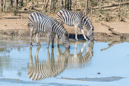 Two Burchells zebras, Equus quagga burchellii, with their reflections visible, drinking water