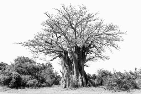 A baobab tree, Adansonia digitata, also called upside-down tree, isolated on white, monochrome Stock Photo