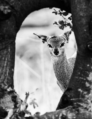A klipsringer ewe, Oreotragus oreotragus, looking towards the camera from behind a tree. Monochrome