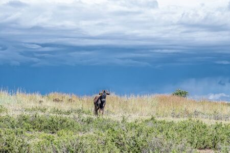 A black wildebeest, Connochaetes gnou, against dark clouds at Uithoek near Fouriesburg in the Free State Province