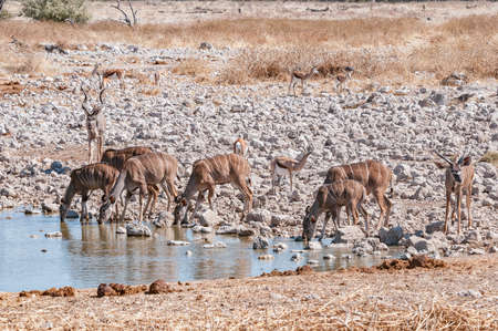 Kudus and springbok drinking water at a waterhole in northern Namibia Фото со стока