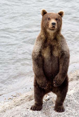Os custos do filhote de urso nos pés traseiros Imagens