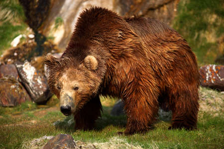 Brown bear,Kamchatka, photo
