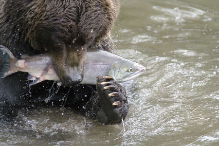 seized: The bear has seized fish